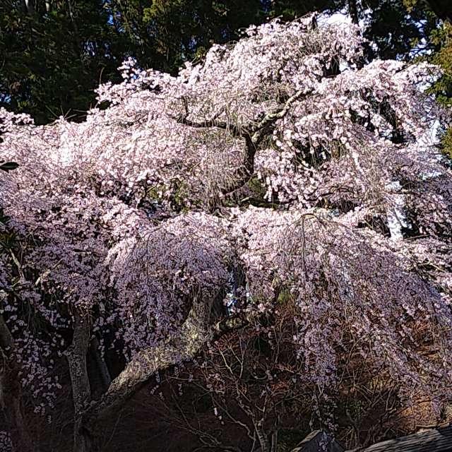 瑞巌寺の桜