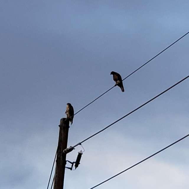2 hawks