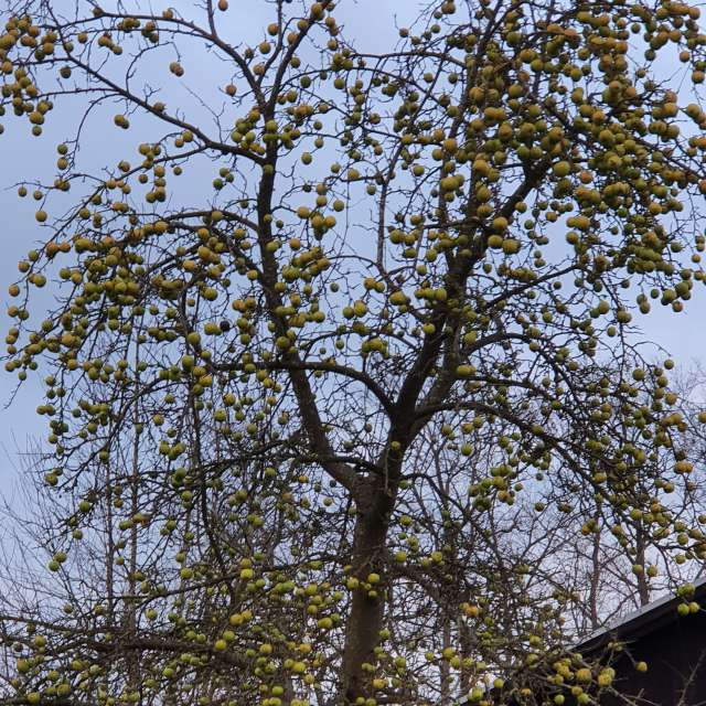 Winther Apples