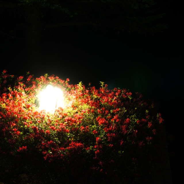 赤ツツジの夜
