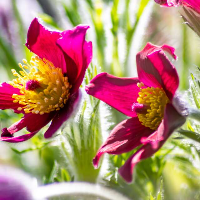 Purple blossom and pink flower