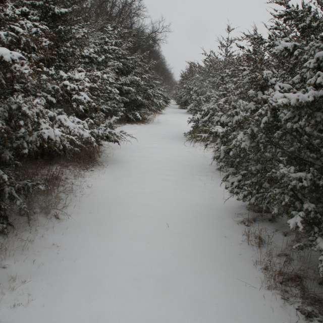 A snowy row of evergreens