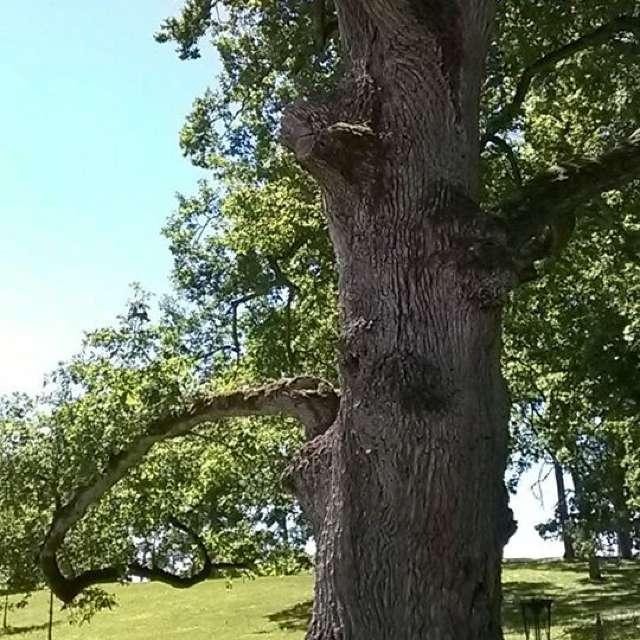 500-year-old Oak