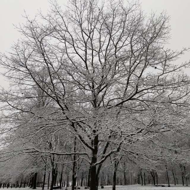 Oak in White
