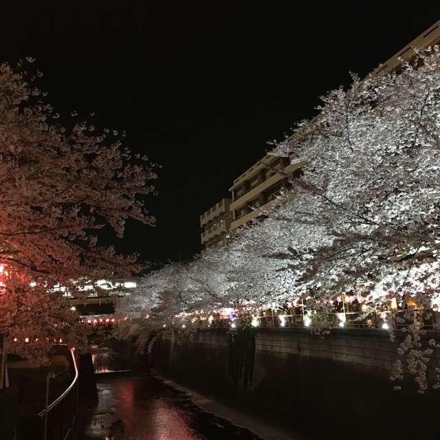 Cherry Blossoms@Nakameguro