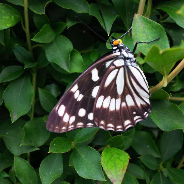 日陰で休憩中の蝶