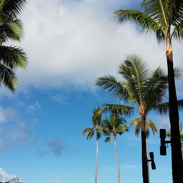 ヤシの木 Coconut trees