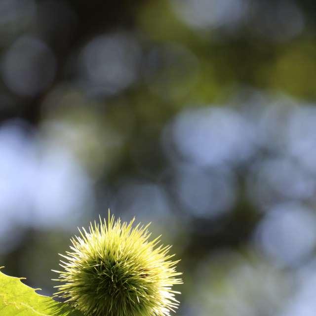 緑のイガグリ