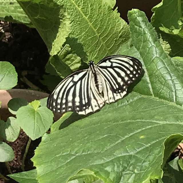 キュウリの葉っぱに蝶々