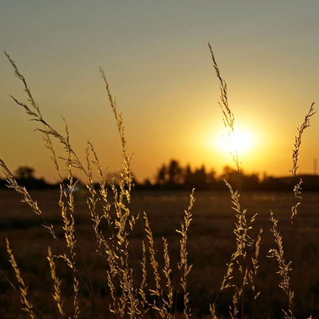 Dry grass at sunset