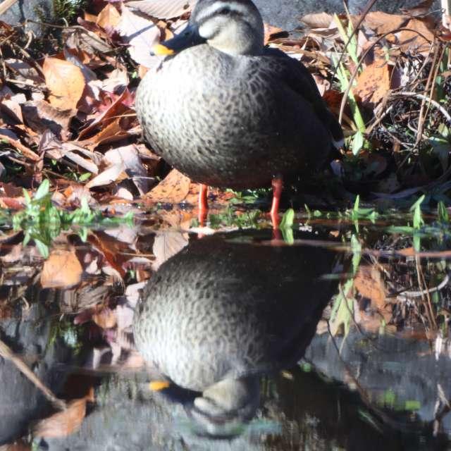 池のカルガモ