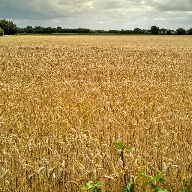 Wheat Blé Grano