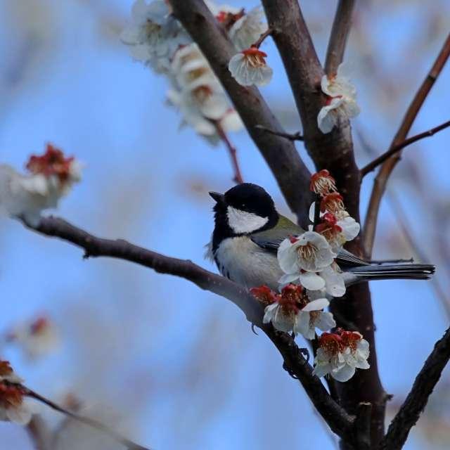 梅の花とシジュウカラ