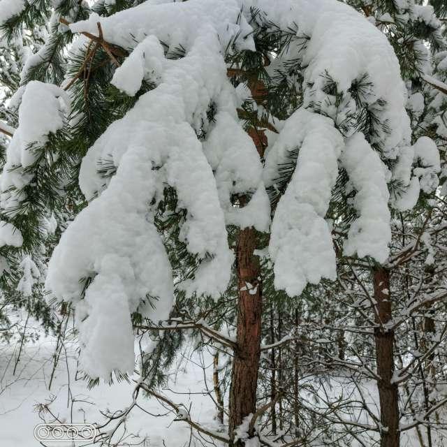 Sniego skara