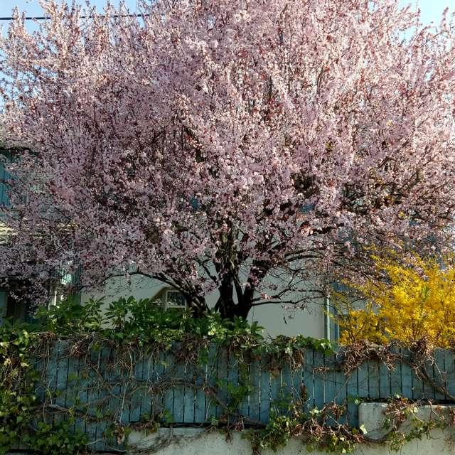 Springtime Blossom Tree