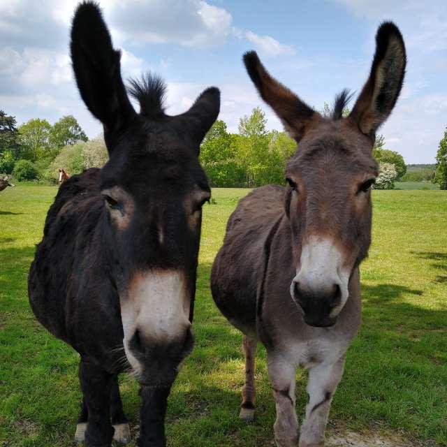 Two Donkeys saying hello.