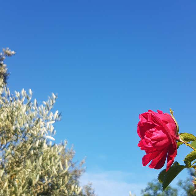 Morning rose in Provence