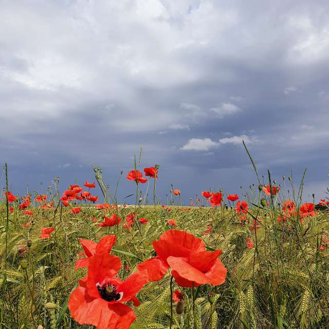Poppy field against grey sky