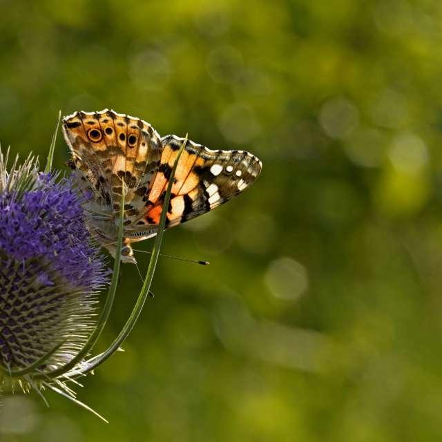 Butterfly eats nectar