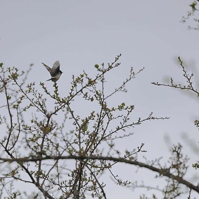 木の上のノビタキ