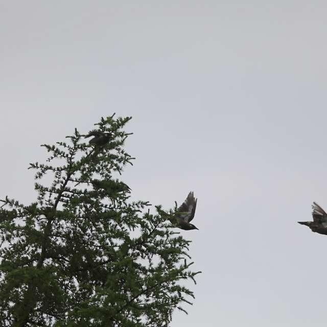 樹上を飛び回るムクドリ