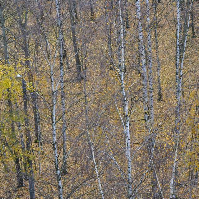 birch autumn park leaves view