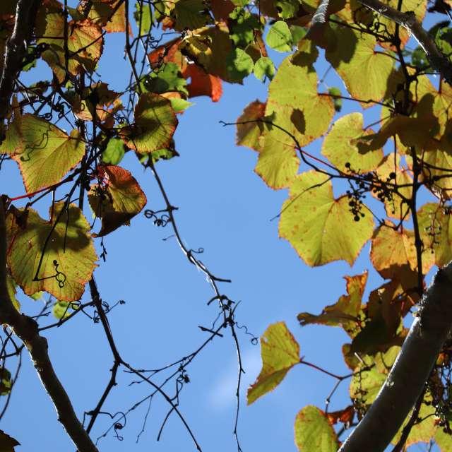 山葡萄秋色に染まる