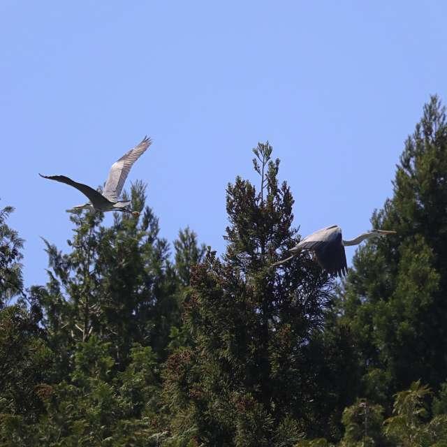 空飛ぶアオサギ