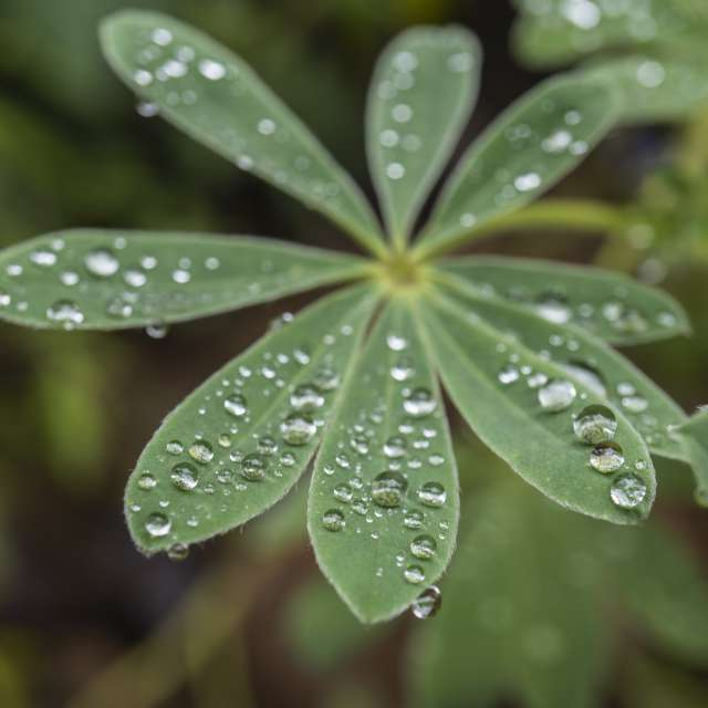 雨上がりのルピナスの葉です