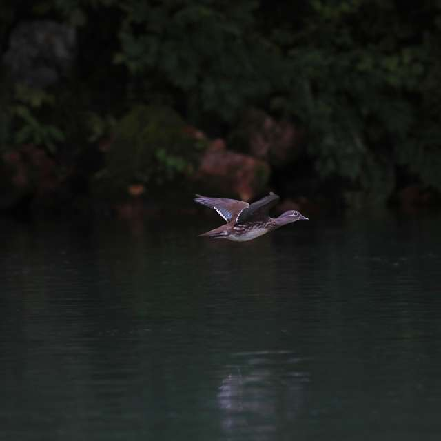 川面を飛ぶカルガモ