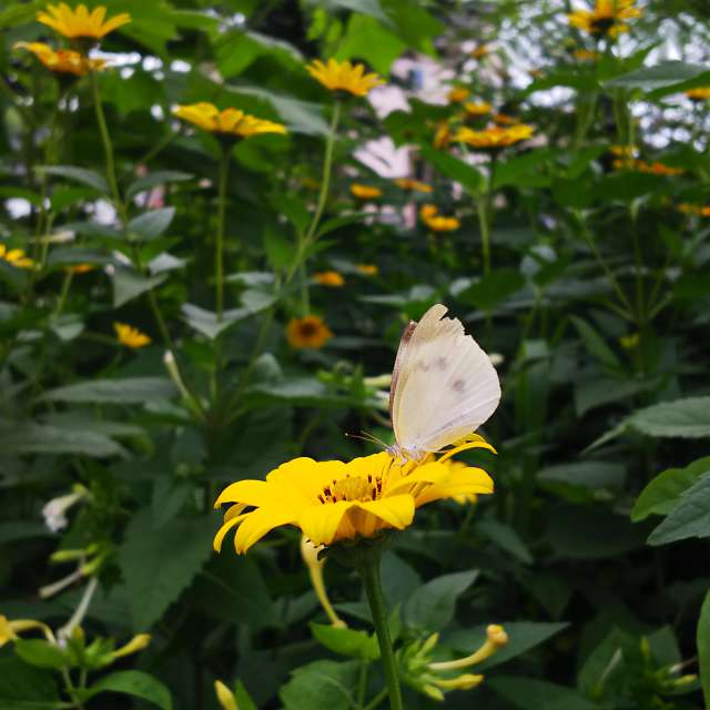 モンシロチョウと名を知らぬ花