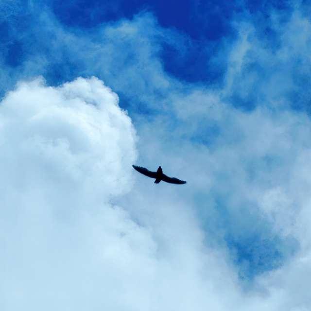 Chimney Swift in Flight