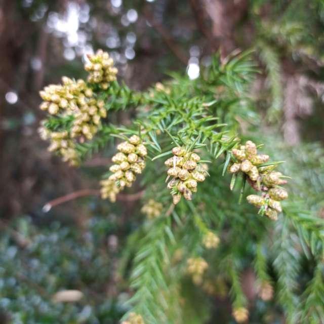 ヒノキ科スギ属 杉の雄花