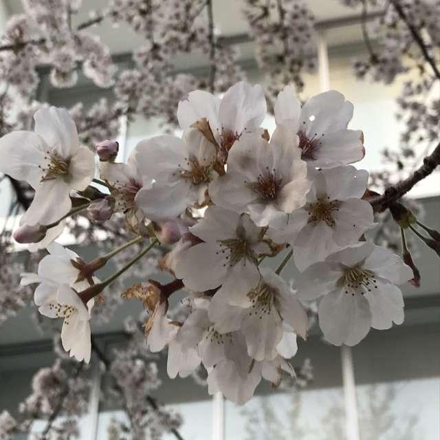 今年はコロナウイルス🦠の影響で、桜も寂しそう