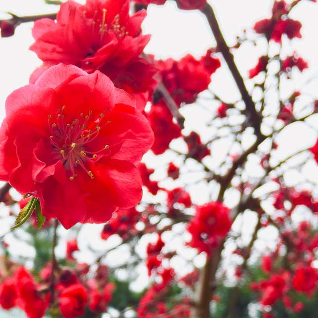 色鮮やかな紅桃