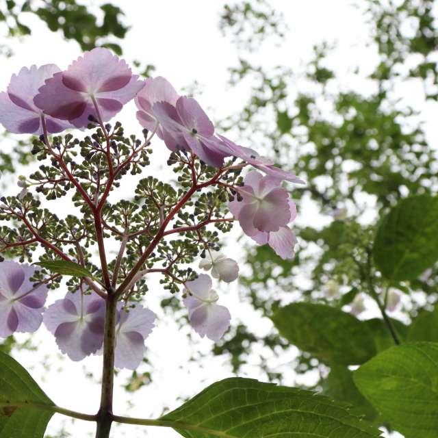 紫陽花の空