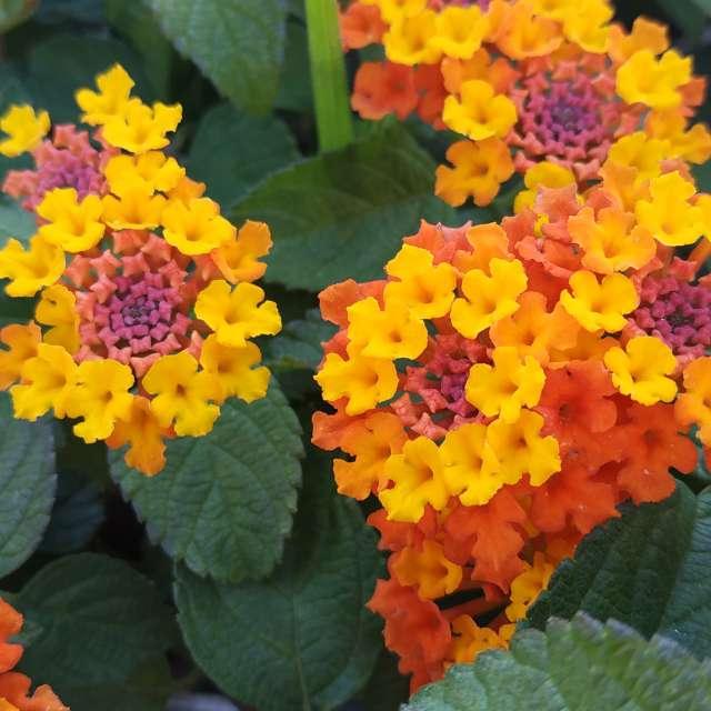 Flores de Recalde