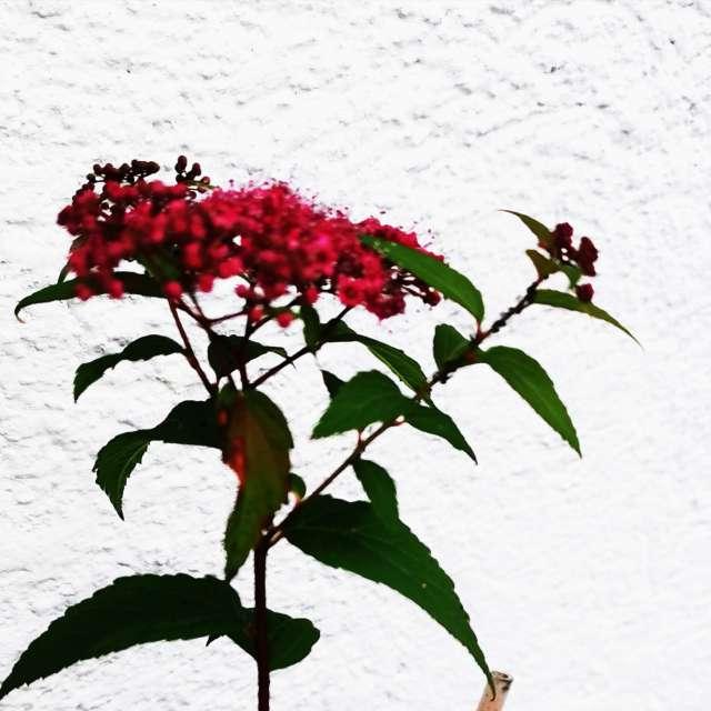 Spiraea amabilis ;)