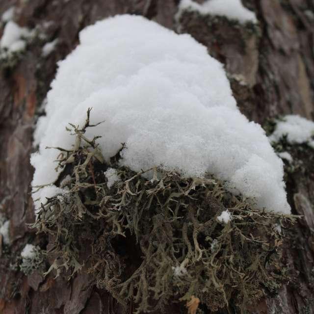 snow on a tree moss