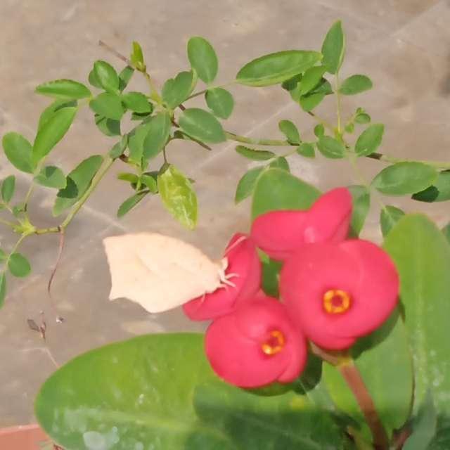 Mariposa en Corona de Cristo
