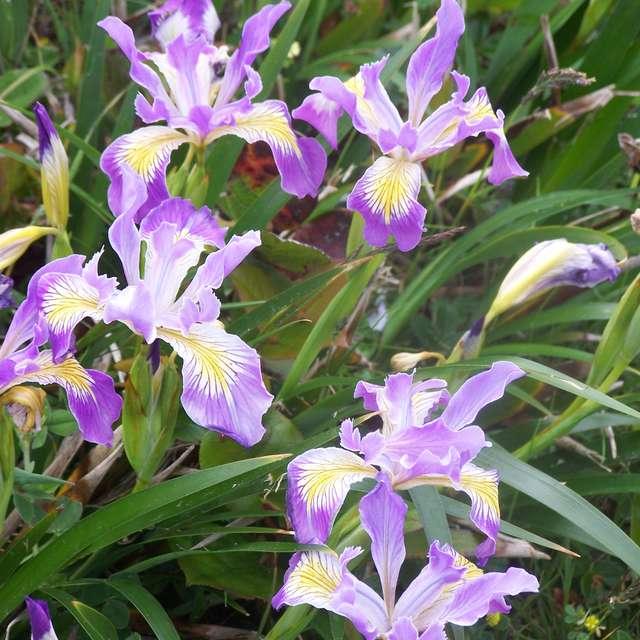 Wild Iris At Cape Clanco