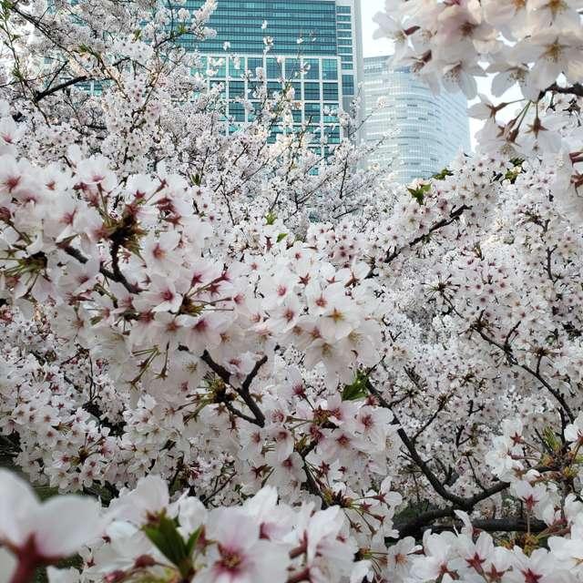 浜離宮満開の桜