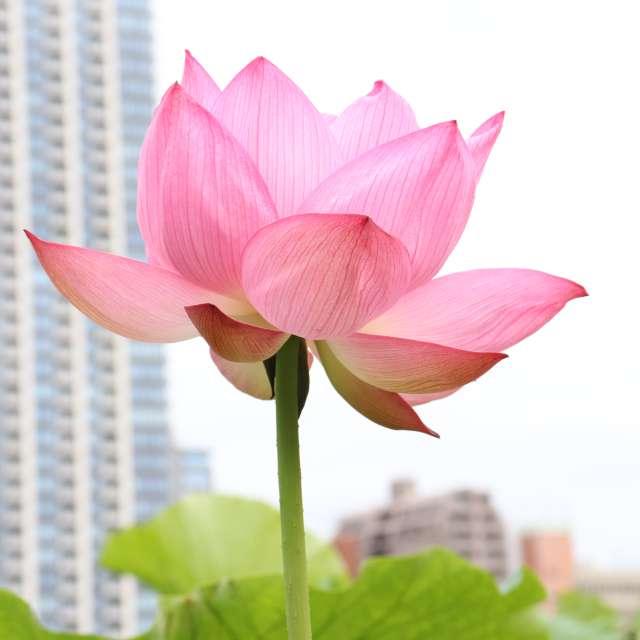 ハスの花の咲いた日