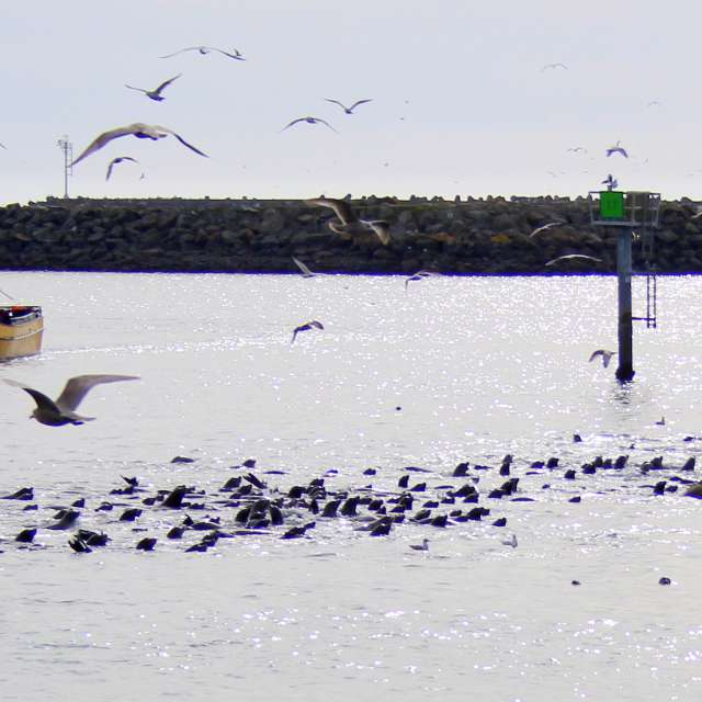 Herding Sea Lions