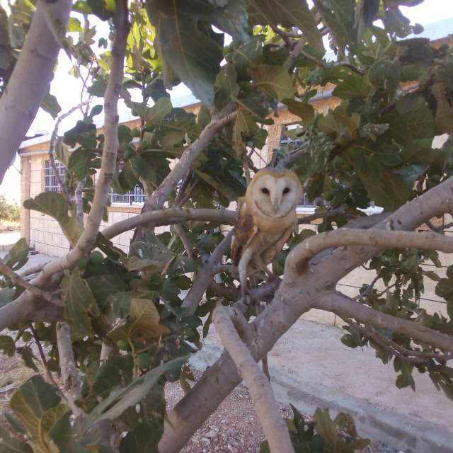 Barn owl of Jordan