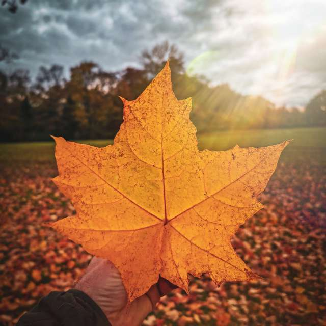 Beautiful leaf in the sunflare