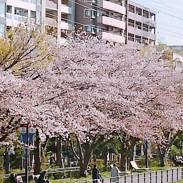 港北区の桜