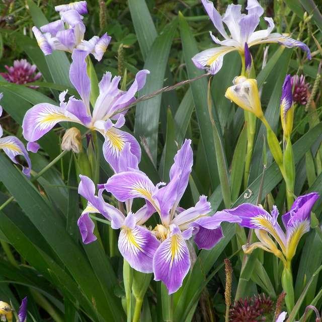 Wild Iris Near A Lighthouse