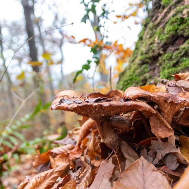 Big mushrooms in autumn forest