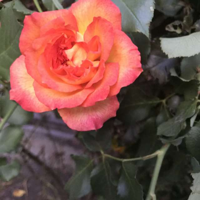 Beautiful rose 🌹